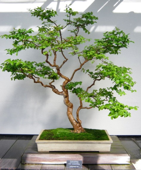 Plants bonsai trees minding my p 39 s with q for Garden trees b q