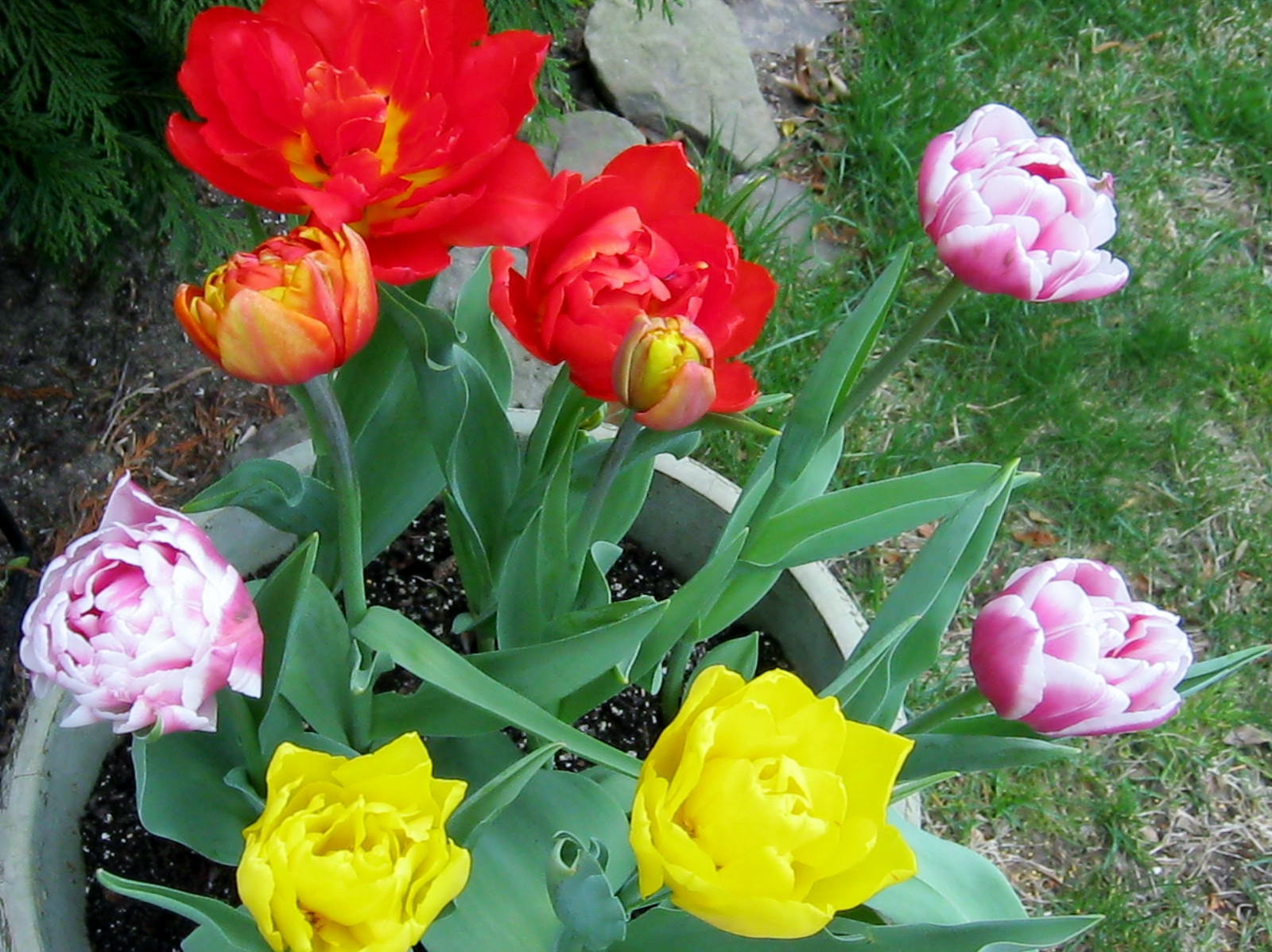 Tulip bulbs minding my p 39 s with q for Tulipe bulbe