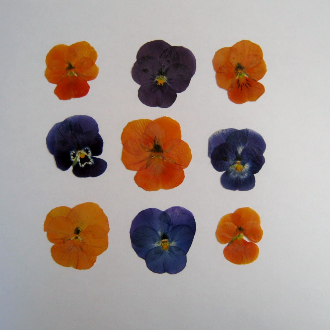 Pressed Flowers – Tips for Pressed Flower Success Part III – MINDING MY P& 39