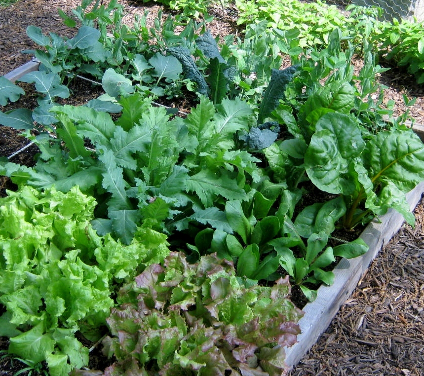Menu For Olive Garden: Update Square Foot Gardens And Swiss Chard