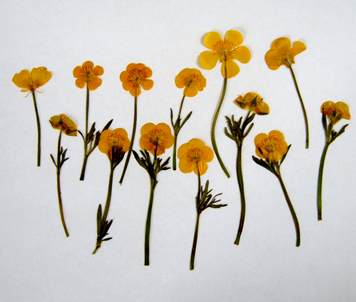 Plants and Pressed Flowers – Buttercups – MINDING MY P S WITH Q