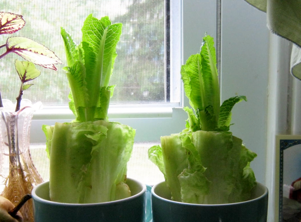 how to grow romaine lettuce in the philippines