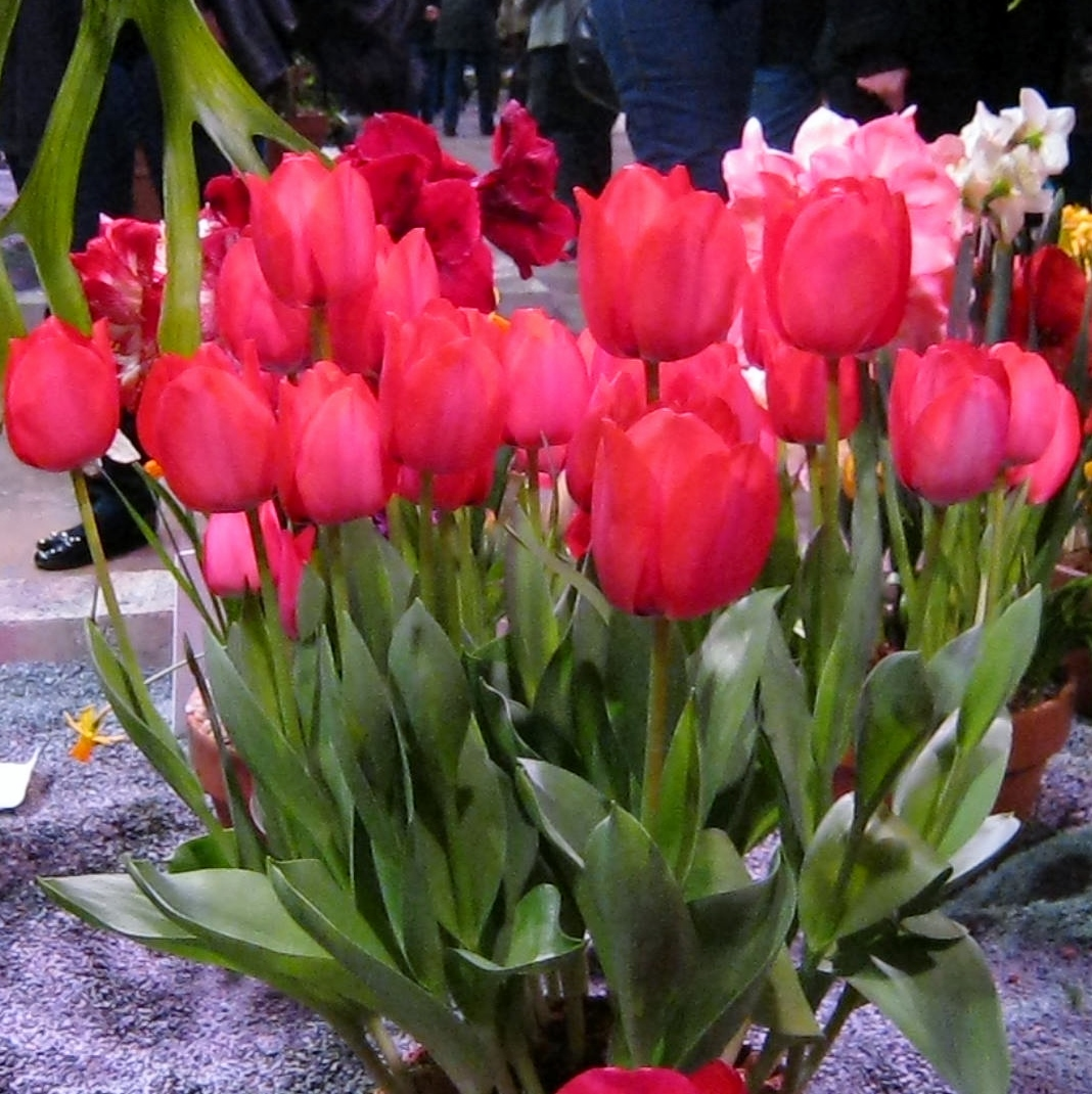 Plant – Wordless Wednesday/Pots Of Tulips
