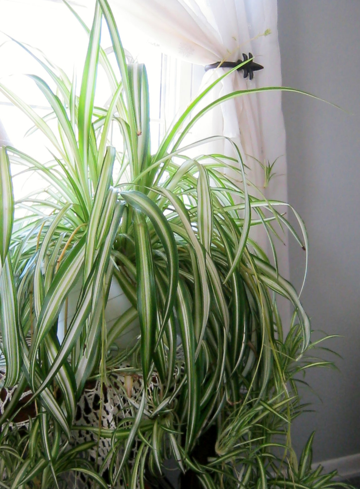 This is a spider plant I have had for several years. I let the plant become  potboundthis is key to the mother plant sending out shoots of plantlets,  ...