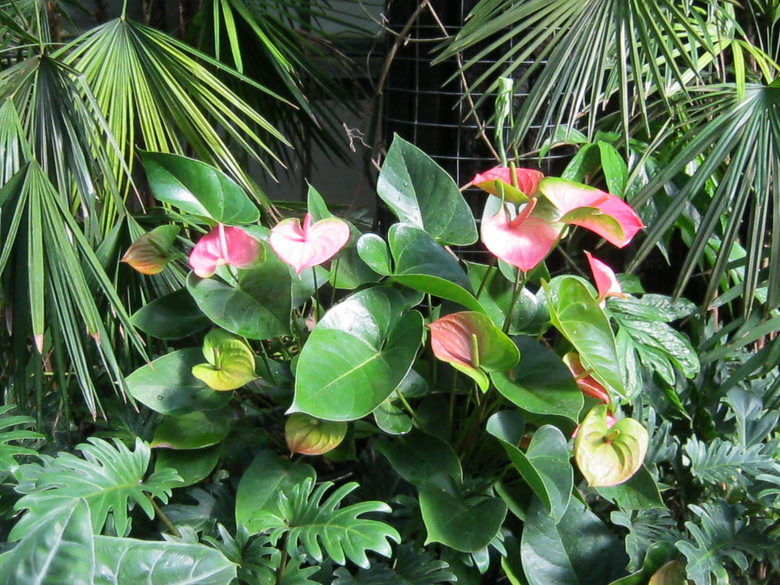 plants anthurium minding my p s with q