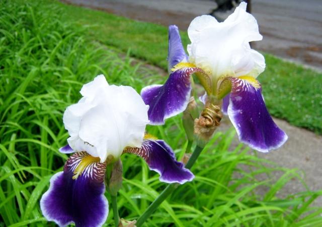 iris 016