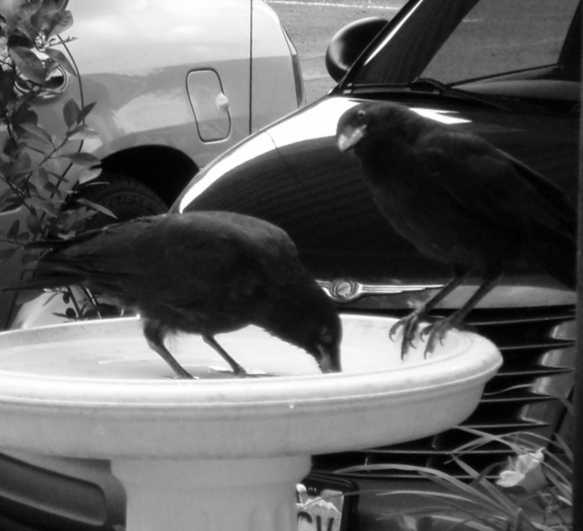Love these crows 6-23-13 009