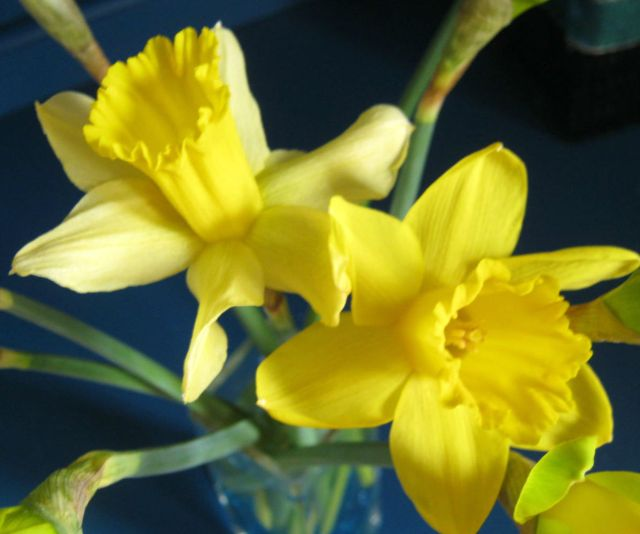 Daffodils3