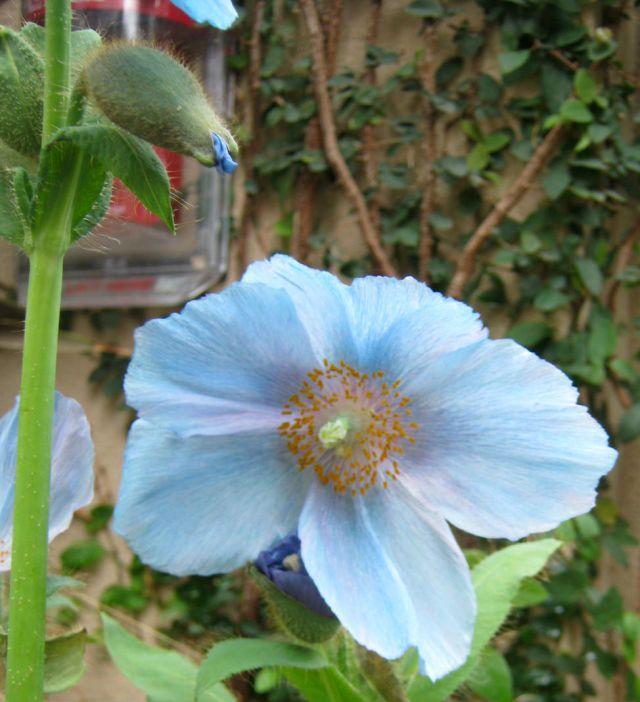 blue poppy one