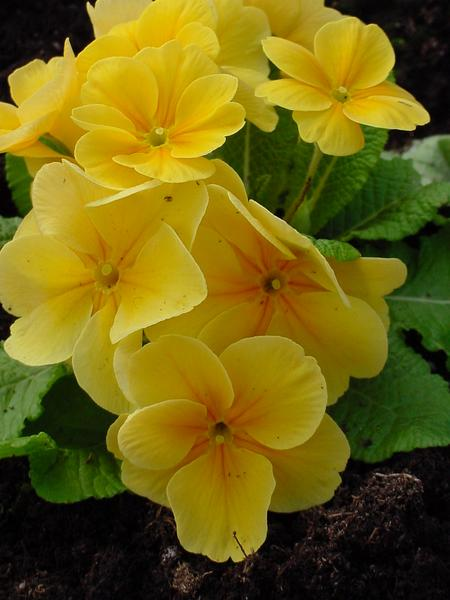 must create yellow primula