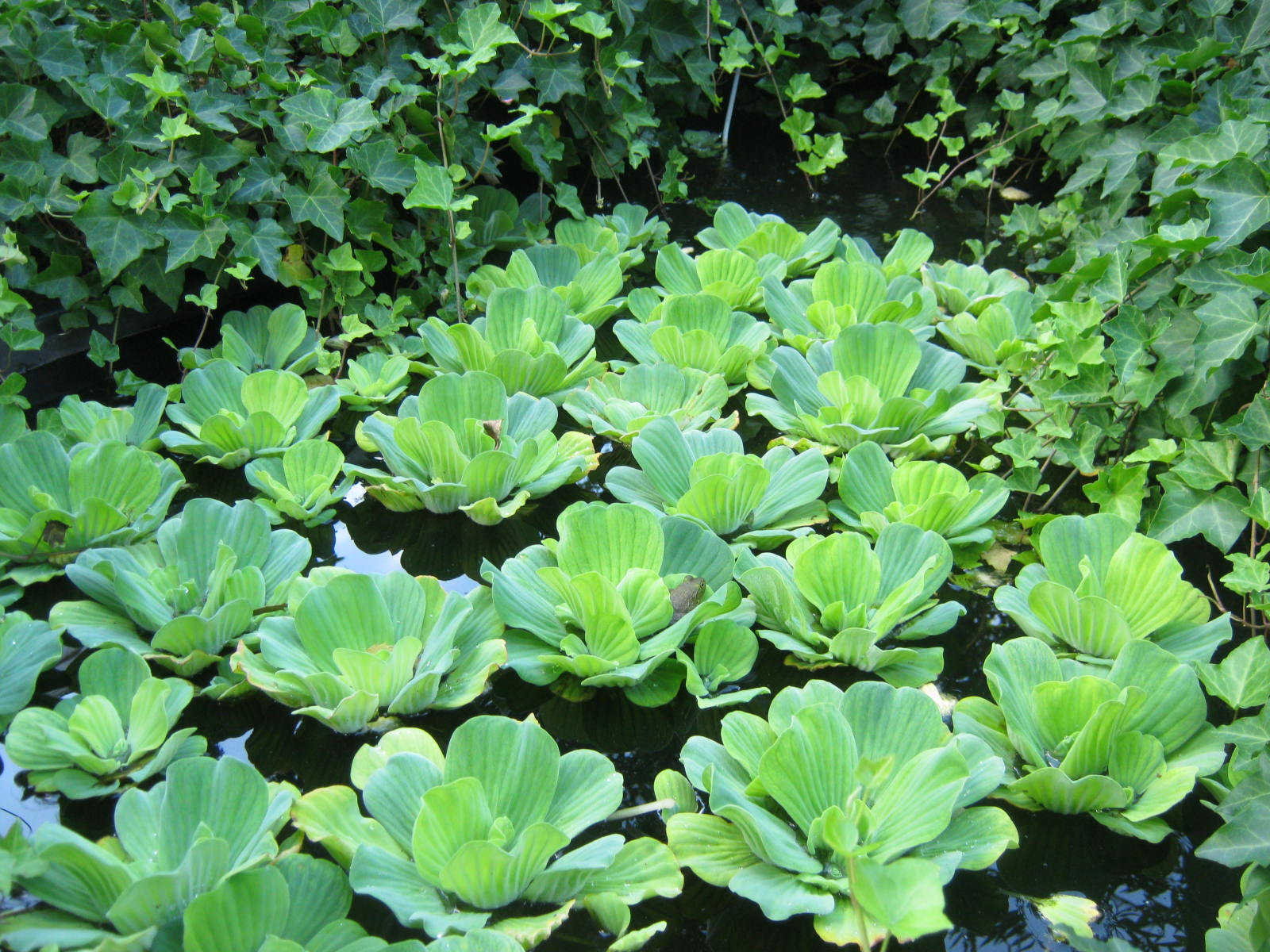 Plants water lettuce pistia minding my p 39 s with q for Aquatic pond plants