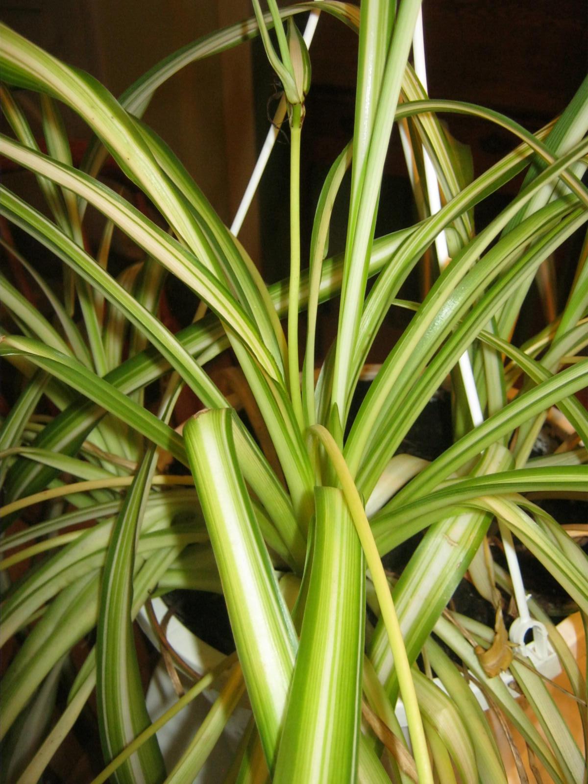 spider plant u2013 minding my p u0027s with q