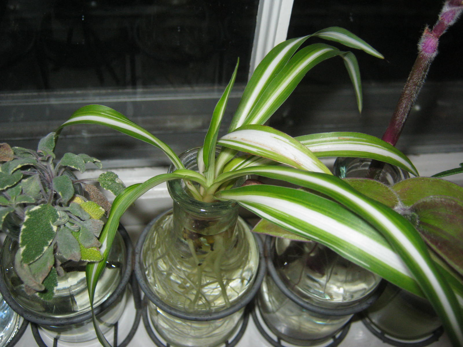 Spider plants also propagate very easily in water. This is the best way to  start a whole new pot of plants. Spider plants produce their classic  cascade of ...