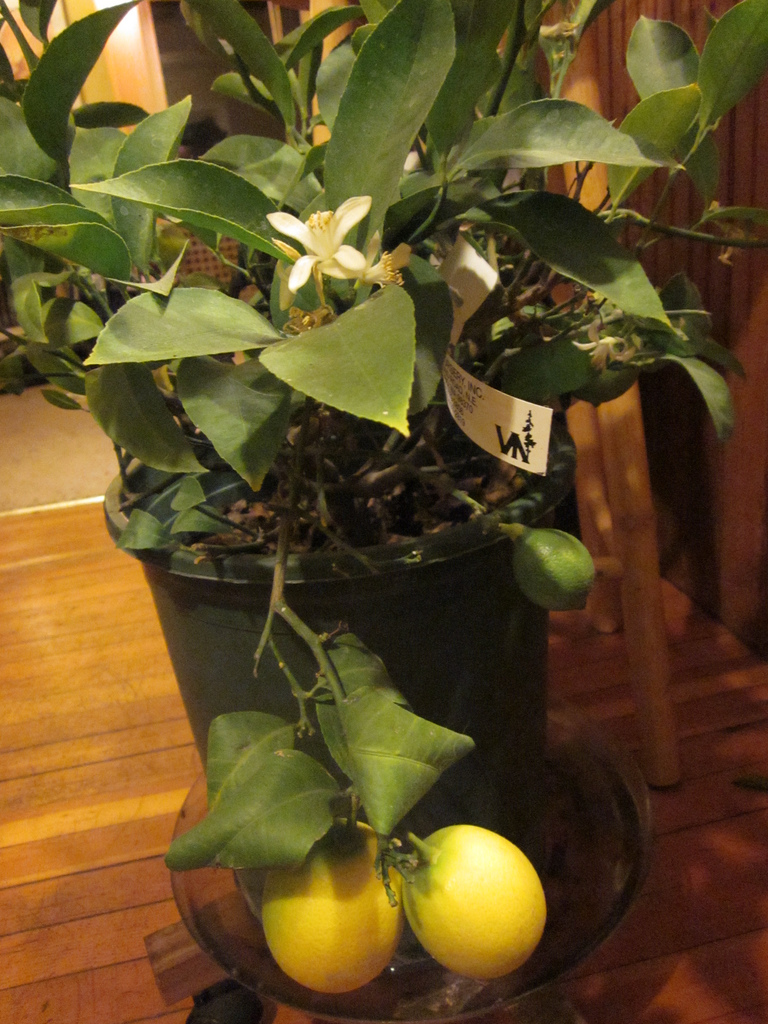 pleasures  u2013 meyer lemons part ii  u2013 minding my p u0026 39 s with q