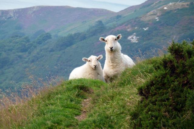 lamb by rhaynes