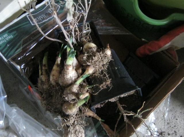 Forgotten daffodil bulbs