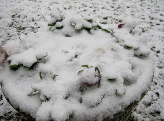 What lies beneath the blanket of snow? Pansies!