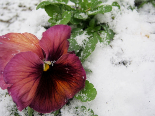 Persian Carpet Pansy