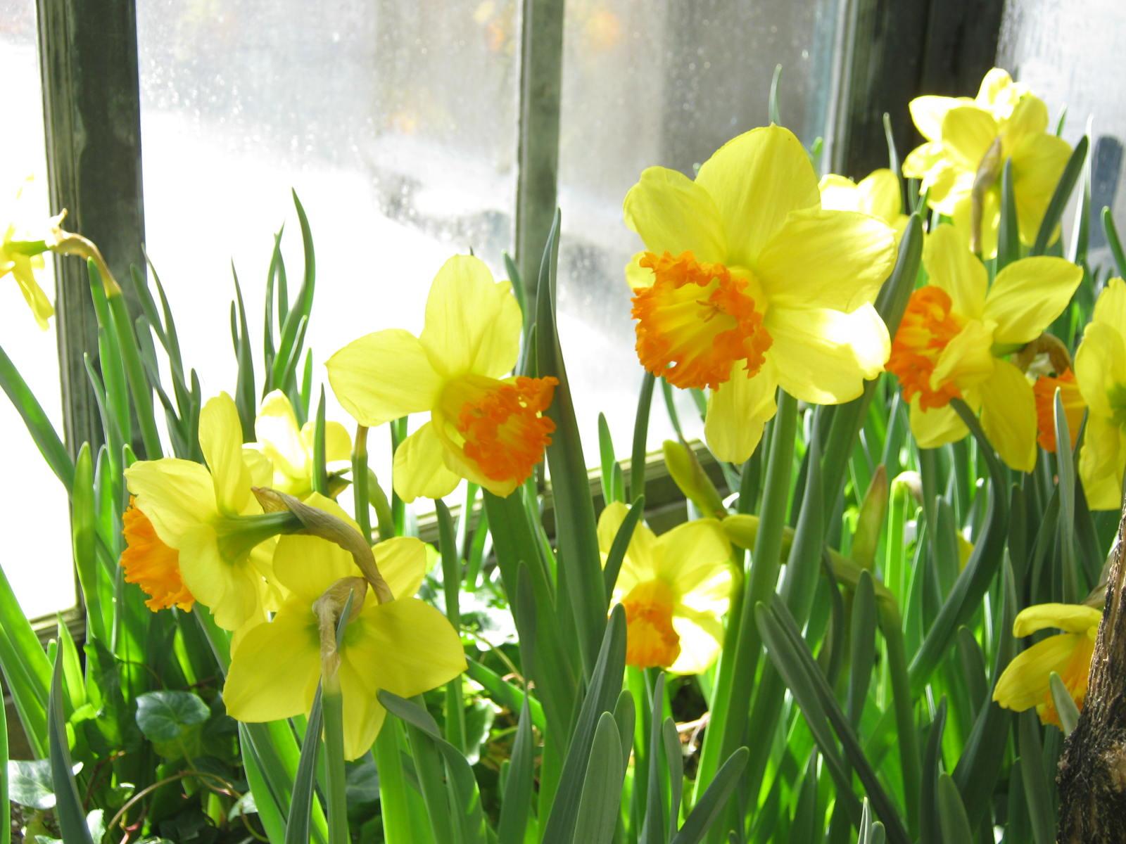 Yellow Daffodils Song Longwood
