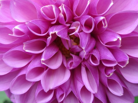 Dahlia - Courtesy of WetCanvas and Vivian Maloney