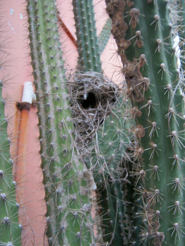 Hummingbird Nest in Cactus