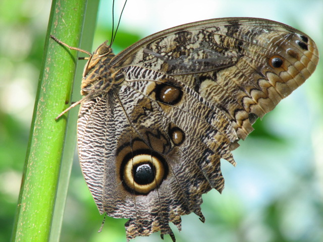 146894-Owl_Butterfly__sunbeam632___1