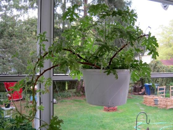 Scented Geranium in Hanging Basket