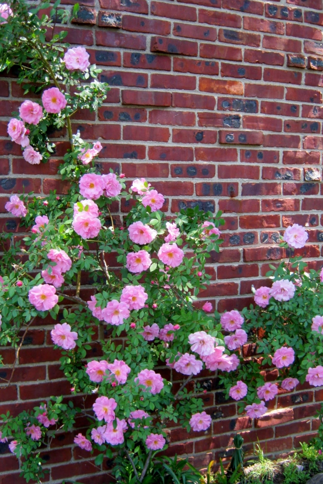 Climbing Rose Against Chimney