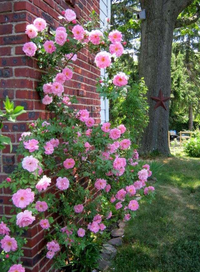 Climbing Rose Cascade