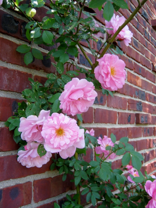 Climbing Rose Close