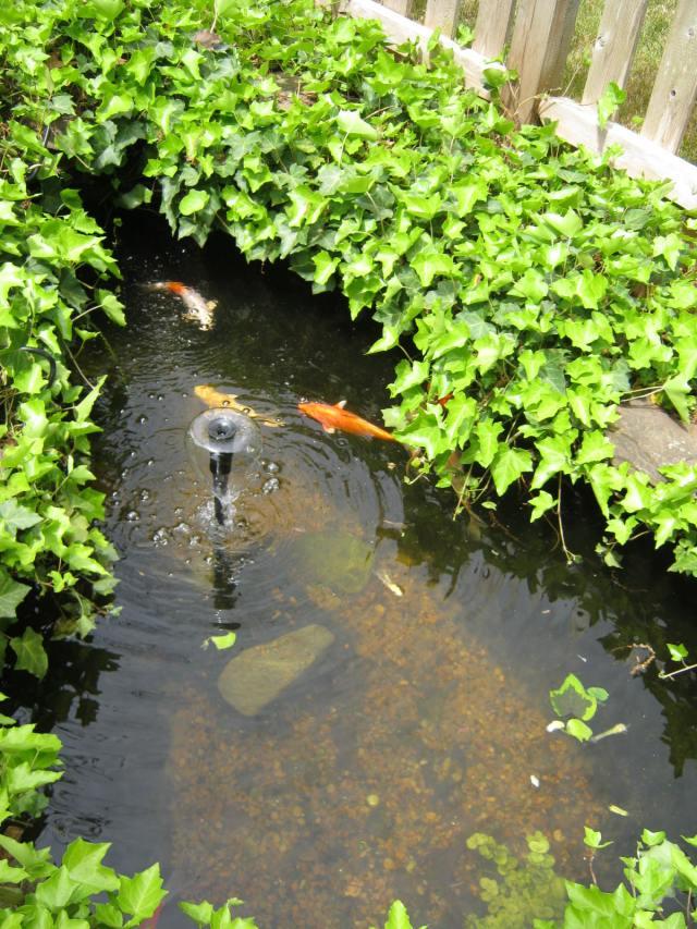 Koi in Pond