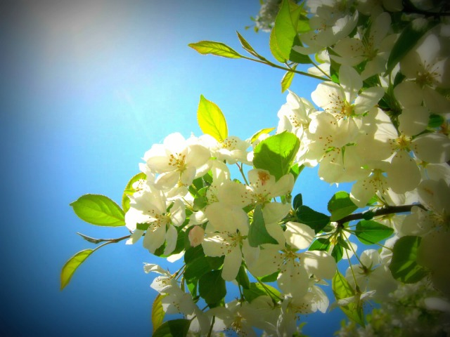 Sun Blossoms,