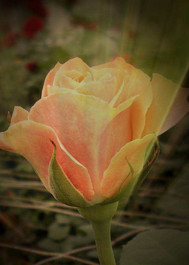 rose2 - Copy jpg