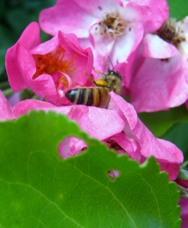 Roses & Bee 2