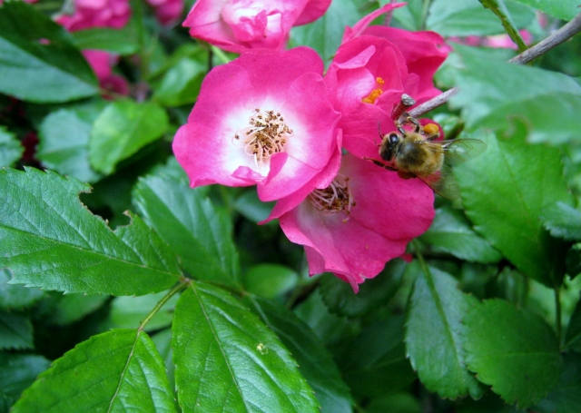 Roses & Bee 3
