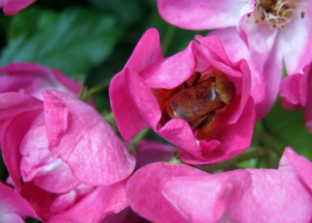 Roses & Bee