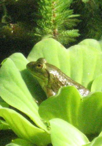 froggie on lily pad
