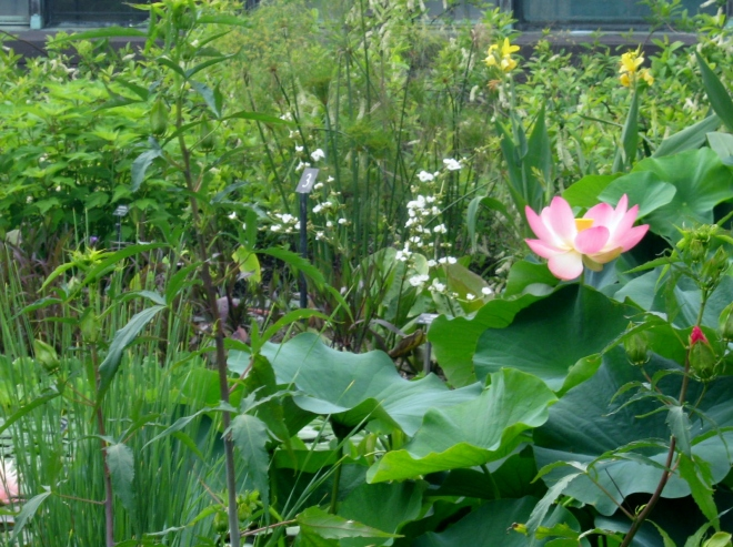 Lotus Flower and Cannas in Water Gardens