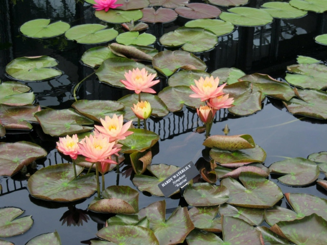 Water lilies at Longwood Gardens
