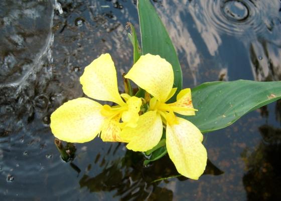 My garden pond cannas blooming.
