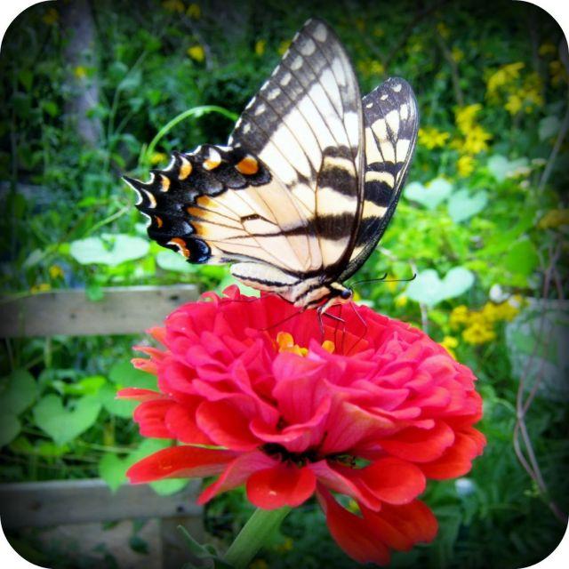Swallowtail jpg