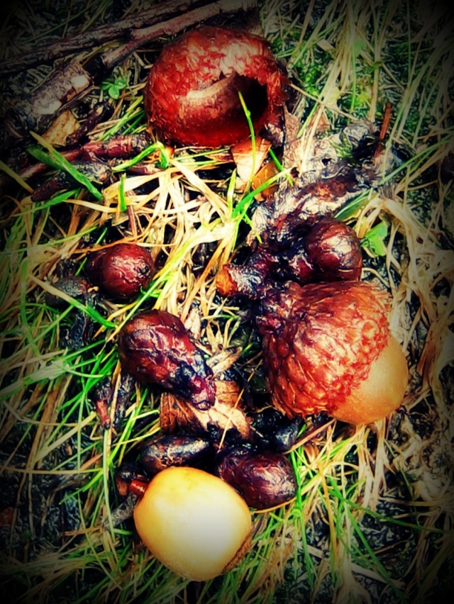ACORNS - WASHED BY RAIN FROM THE ROOF