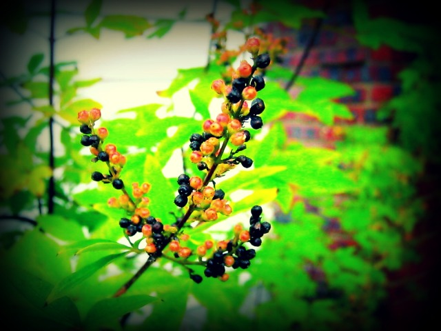 VITEX/CHASTE-BERRY SEEDS