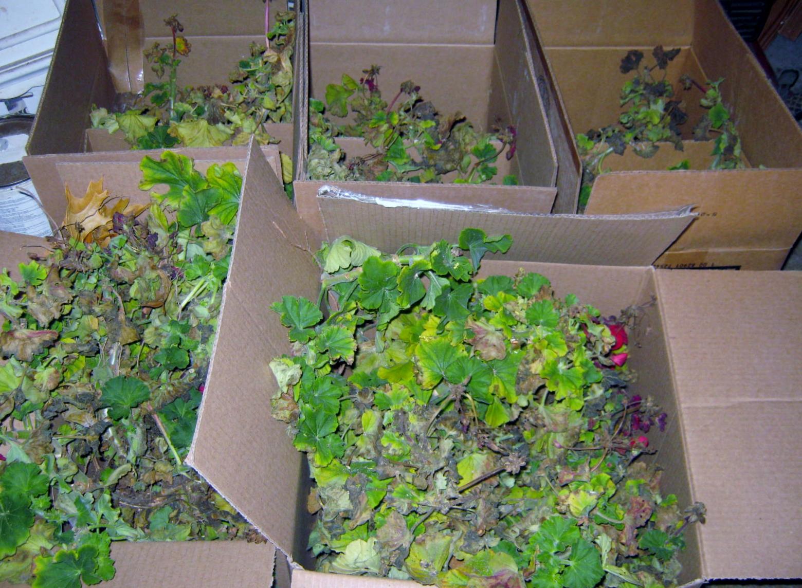 Quick tip plants over wintering geraniums minding my p 39 s with q - Overwintering geraniums tips ...