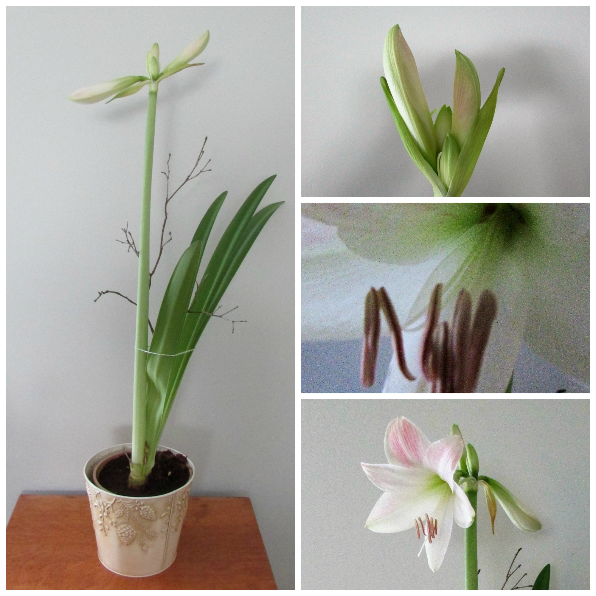 Plants quick tip amaryllis blooms natural supports for Amaryllis bulbe conservation