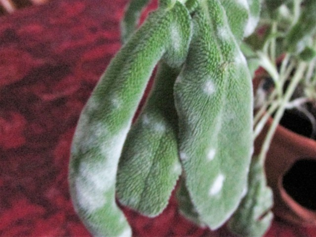 Sage Mildew Close Up
