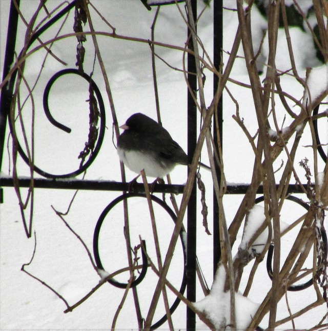 birds in snow 4