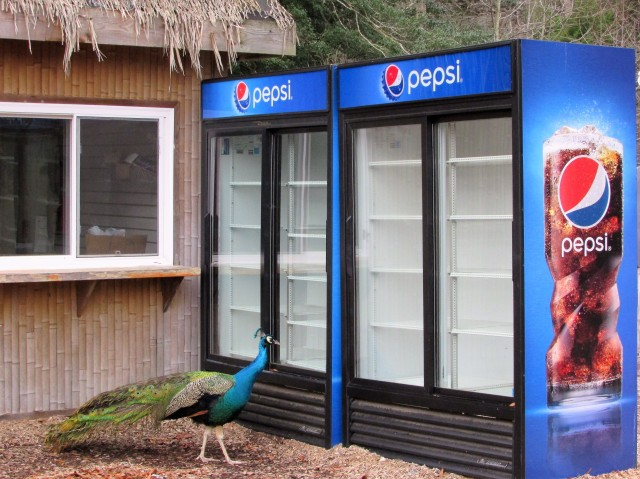 "I loved the way the peacock matched the soda machine. I could almost hear him saying, ""What...No Pepsi?"""