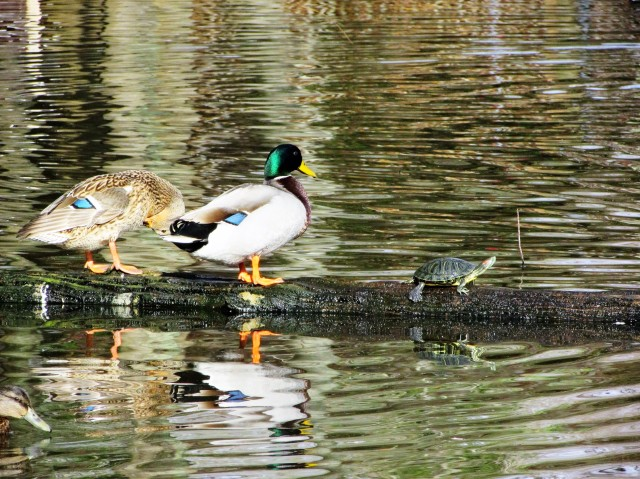 Duck pond mallards with turtle.