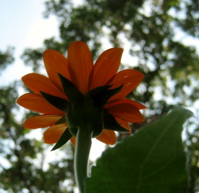 Beneath A Tithonia (Mexican Sunflower)